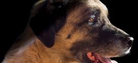 Historia mieszkańców fabryk bólu i rozrodu, czyli sytuacja psów w pseudohodowlach